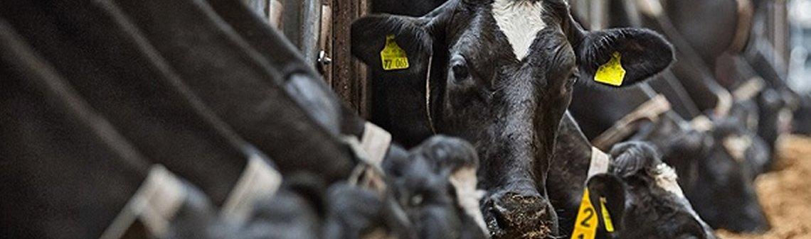 GEA Cows